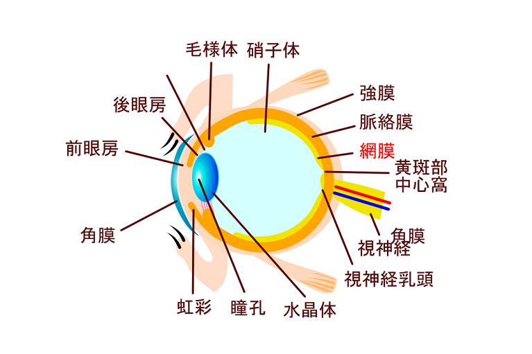 網膜の構造と役割
